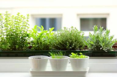 southern windowsill-herb-garden (maidanos,dendrolivano,rigani,vasilikos,thimari,maidanos)