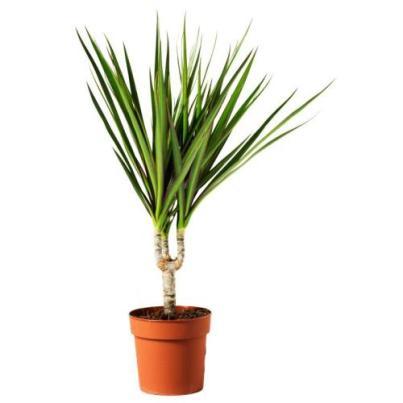 Φυτό δράκαινα - ΙΚΕΑ